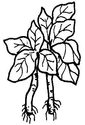 Gambar Menggambar Kubis Kol Mewarnai Sayuran 574 842 Download Klik Kanan di Rebanas - Rebanas